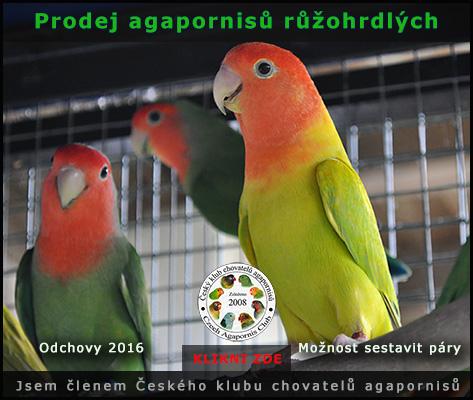 Prodej agapornisů